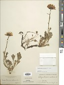 view Dendranthema arcticum (L.) Tzvelev digital asset number 1