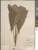 view Cordyline fruticosa (L.) A. Chev. digital asset number 1