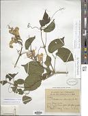 view Amphilophium crucigerum (L.) L.G. Lohmann digital asset number 1