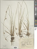 view Carex hostiana DC. digital asset number 1