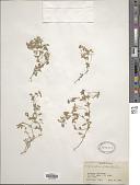 view Polycarpon tetraphyllum (L.) L. digital asset number 1