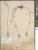 view Hordeum murinum L. subsp. murinum digital asset number 1
