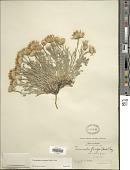 view Townsendia florifer (Hook.) A. Gray digital asset number 1