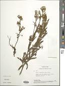 view Senecio adenophyllus Meyen & Walp. digital asset number 1