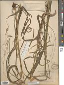 view Bromus pubescens Muhl. ex Willd. digital asset number 1
