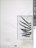 view Goniopteris venusta (Heward) Pic. Serm. digital asset number 1