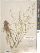 view Sphenopholis nitida (Biehler) Scribn. digital asset number 1
