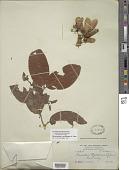 view Heteropterys wydleriana A. Juss. digital asset number 1