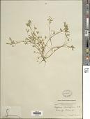 view Trifolium depauperatum Desv. digital asset number 1