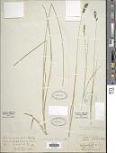 view Carex hookeriana Dewey digital asset number 1