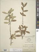 view Malpighia mucronata subsp. insulae-pinorum F.K. Mey. digital asset number 1