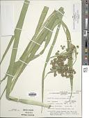 view Scirpus microcarpus J. Presl & C. Presl digital asset number 1