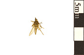 view Saltmarsh Mosquito digital asset number 1