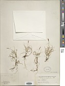 view Carex rupestris All. digital asset number 1