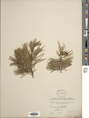 view Pinus contorta var. latifolia Engelm. ex S. Watson in C. King digital asset number 1