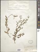view Convolvulus arvensis L. digital asset number 1