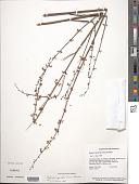 view Byttneria genistella Triana & Planch. digital asset number 1