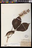 view Aesculus parviflora Walter digital asset number 1