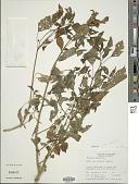 view Physalis angulata L. digital asset number 1