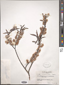 view Salix petiolaris var. rosmarinoides digital asset number 1