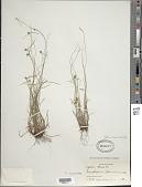 view Cyperus nanus Willd. var. nanus digital asset number 1