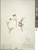 view Turgenia latifolia Hoffm. digital asset number 1