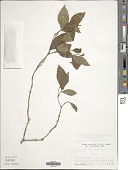 view Rudgea cornifolia (Kunth) Standl. digital asset number 1