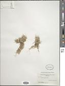 view Carex ursina Dewey digital asset number 1