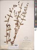 view Stemodia durantifolia (L.) Sw. digital asset number 1