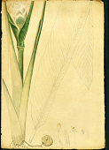 view Calathea allouia (Aubl.) Lindl. digital asset number 1