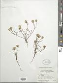 view Chaenactis xantiana A. Gray digital asset number 1
