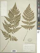 view Dryopteris carthusiana (Villars) H.P. Fuchs digital asset number 1
