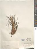 view Tillandsia festucoides Brongn. ex Mez digital asset number 1