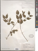 view Halleria lucida L. digital asset number 1