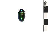 view Dogbane Leaf Beetle digital asset number 1