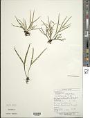 view Pleopeltis desvauxii (Klotzsch) Salino digital asset number 1