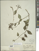 view Varronia serrata (L.) Borhidi digital asset number 1