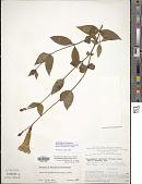 view Chelonanthus purpurascens (Aubl.) Struwe et al. digital asset number 1