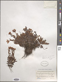 view Saxifraga sinomontana J.T. Pan & Gornall digital asset number 1