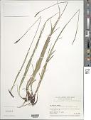 view Carex scirpoidea Michx. digital asset number 1