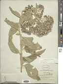 view Critoniopsis tomentosa (La Llave & Lex.) H. Rob. digital asset number 1