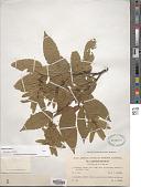 view Carpinus betulus L. digital asset number 1