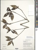 view Pagamea guianensis Aubl. var. guianensis digital asset number 1