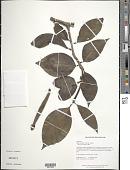 view Hillia illustris (Vell.) K. Schum. digital asset number 1