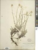 view Antennaria rosea Greene digital asset number 1
