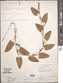 view Syngonium erythrophyllum Birdsey ex G.S. Bunting digital asset number 1