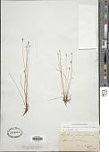 view Eleocharis quinqueflora subsp. fernaldii (Svenson) Hultén digital asset number 1