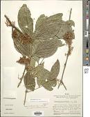 view Zygia cauliflora (Willd.) Killip digital asset number 1