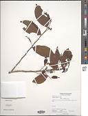 view Hirtella tubiflora Cuatrec. digital asset number 1