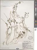 view Ranunculus confervoides (Fr.) Fr. digital asset number 1
